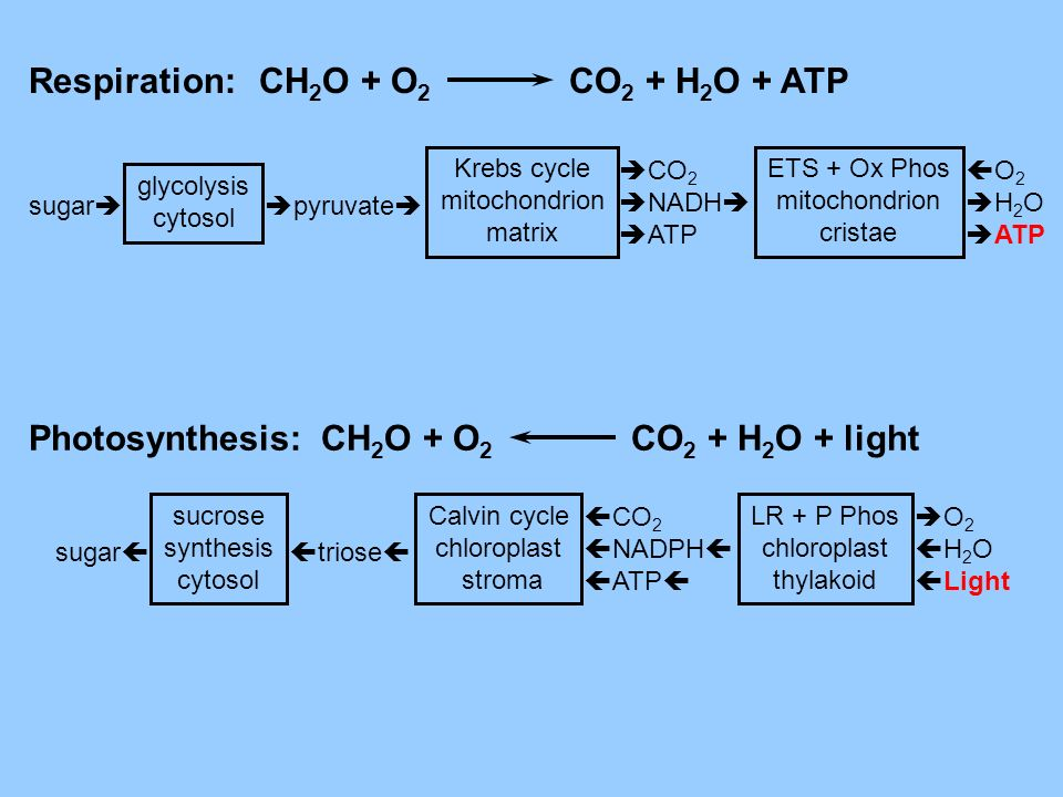 glycolysis cytosol Krebs cycle mitochondrion matrix ETS + Ox Phos mitochondrion cristae sugar pyruvate CO 2 NADH ATP O 2 H 2 O ATP sucrose synthesis c