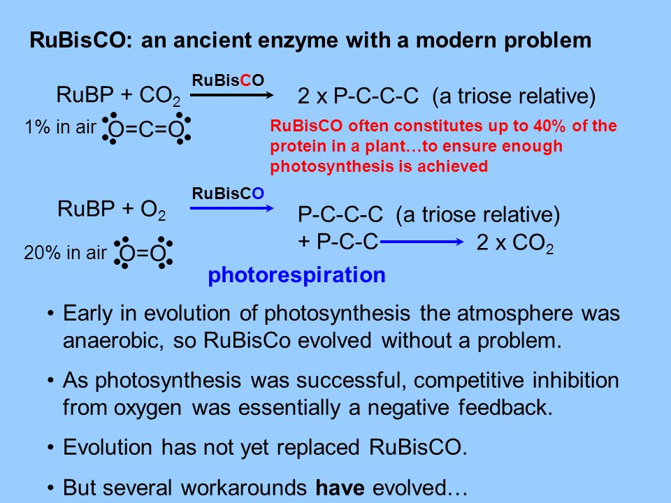 RuBisCO: an ancient enzyme with a modern problem RuBP + CO 2 RuBP + O 2 2 x P-C-C-C (a triose relative) P-C-C-C (a triose relative) + P-C-C 2 x CO 2 p