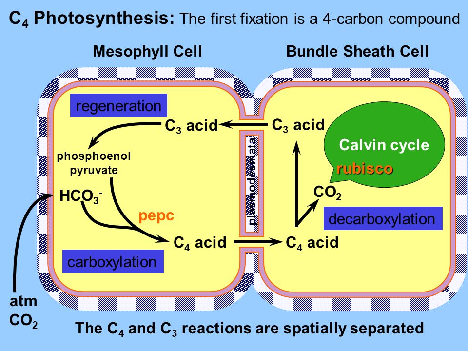 C 4 Photosynthesis: The first fixation is a 4-carbon compound Mesophyll CellBundle Sheath Cell atm CO 2 HCO 3 - phosphoenol pyruvate C 4 acid C 3 acid