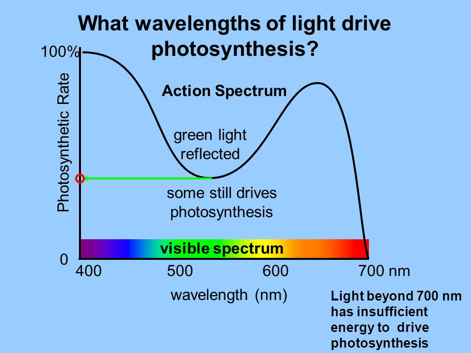 What wavelengths of light drive photosynthesis? wavelength (nm) 400 500 600 700 nm visible spectrum green light reflected Action Spectrum some still d