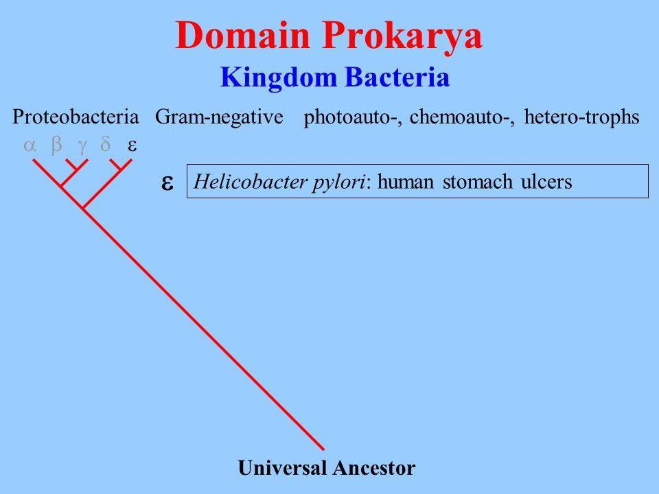 Domain Prokarya Kingdom Bacteria Universal Ancestor Proteobacteria Gram-negativephotoauto-, chemoauto-, hetero-trophs Helicobacter pylori: human stoma