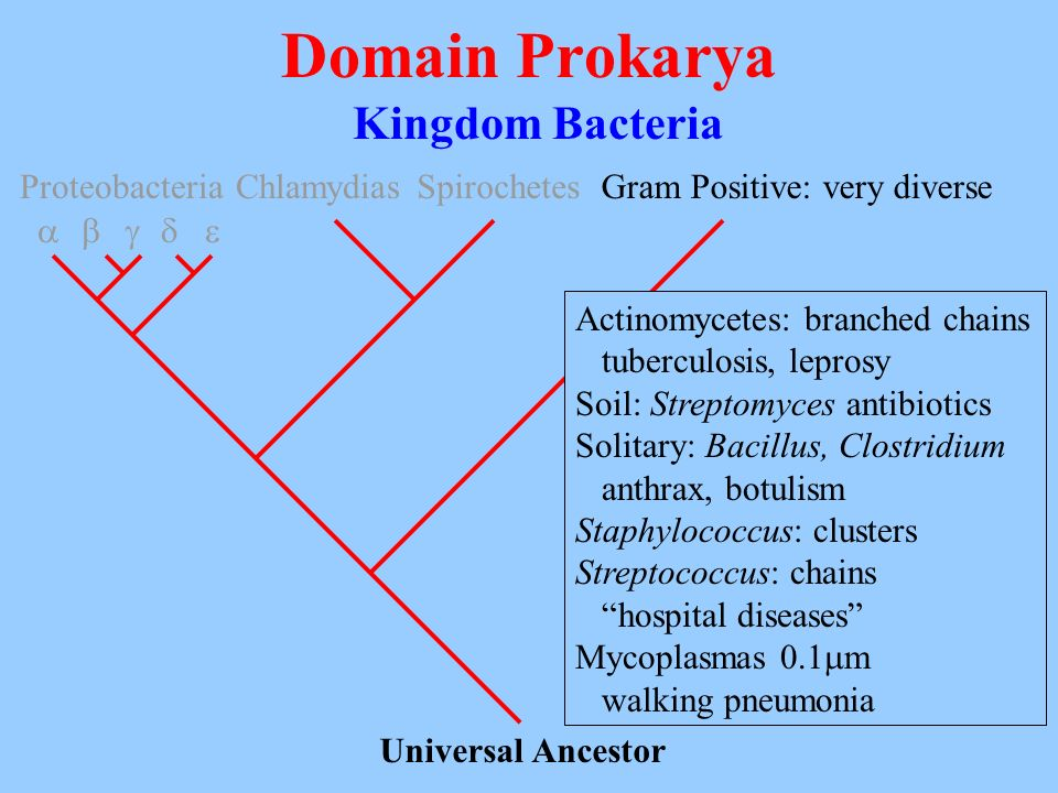 Domain Prokarya Kingdom Bacteria Universal Ancestor Proteobacteria ChlamydiasSpirochetesGram Positive: very diverse Actinomycetes: branched chains tub