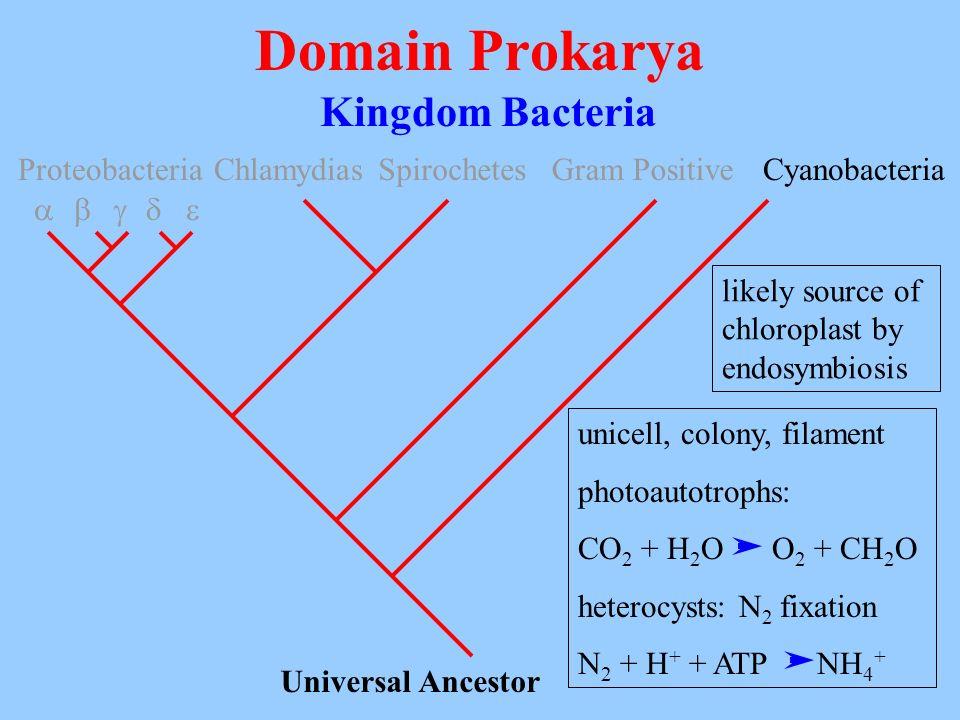 Domain Prokarya Kingdom Bacteria Universal Ancestor Proteobacteria ChlamydiasSpirochetesGram PositiveCyanobacteria unicell, colony, filament photoauto