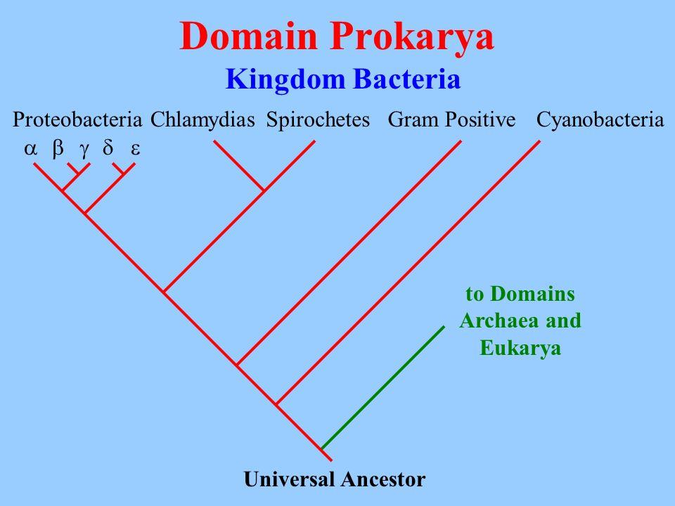 Domain Prokarya Kingdom Bacteria Universal Ancestor Proteobacteria ChlamydiasSpirochetesGram PositiveCyanobacteria to Domains Archaea and Eukarya