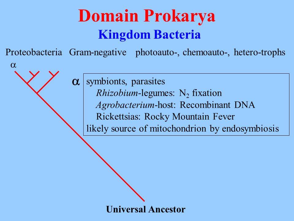 Domain Prokarya Kingdom Bacteria Universal Ancestor Proteobacteria Gram-negativephotoauto-, chemoauto-, hetero-trophs symbionts, parasites Rhizobium-l