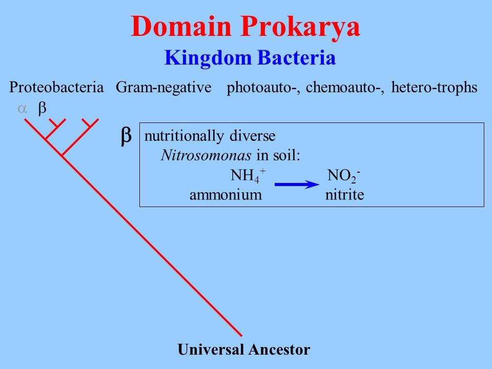 Domain Prokarya Kingdom Bacteria Universal Ancestor Proteobacteria Gram-negativephotoauto-, chemoauto-, hetero-trophs nutritionally diverse Nitrosomon