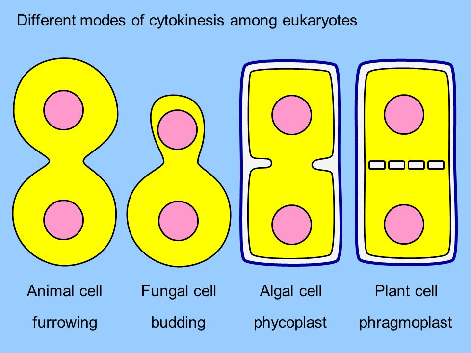 Different modes of cytokinesis among eukaryotes Animal cell furrowing Plant cell phragmoplast phycoplast Algal cell budding Fungal cell