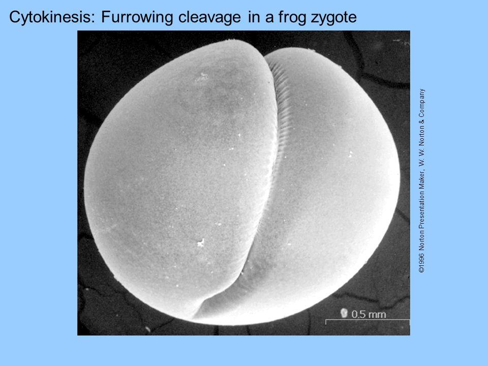 Cytokinesis: Furrowing cleavage in a frog zygote ©1996 Norton Presentation Maker, W. W. Norton & Company