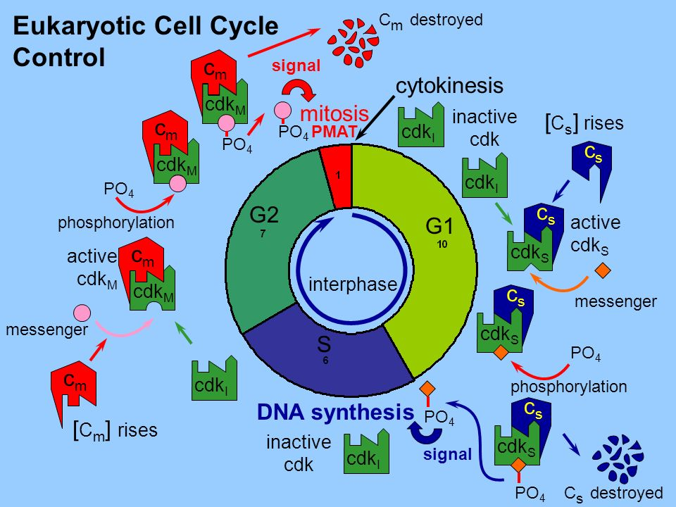 mitosis cytokinesis Eukaryotic Cell Cycle Control DNA synthesis PMAT S G2 G1 interphase M cscs cdk S cdk I inactive cdk cmcm cdk M PO 4 cscs cmcm C m