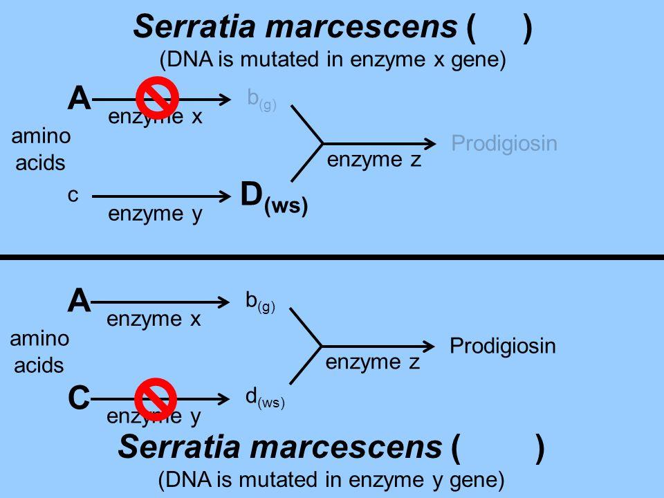 c D (ws) Prodigiosin enzyme x enzyme y enzyme z amino acids b (g) A Serratia marcescens ( ) (DNA is mutated in enzyme x gene) amino acids b (g) d (ws)
