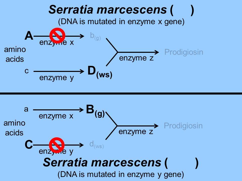 c D (ws) Prodigiosin enzyme x enzyme y enzyme z amino acids b (g) A Serratia marcescens ( ) (DNA is mutated in enzyme x gene) amino acids d (ws) Prodi