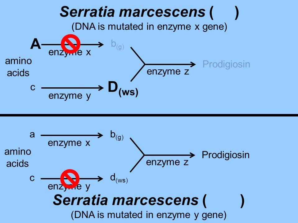c D (ws) Prodigiosin enzyme x enzyme y enzyme z amino acids b (g) A Serratia marcescens ( ) (DNA is mutated in enzyme x gene) amino acids a c b (g) d