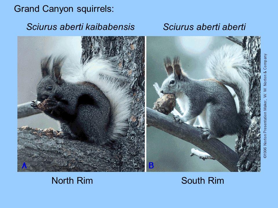 Grand Canyon squirrels: Sciurus aberti kaibabensis Sciurus aberti aberti North RimSouth Rim ©1996 Norton Presentation Maker, W. W. Norton & Company