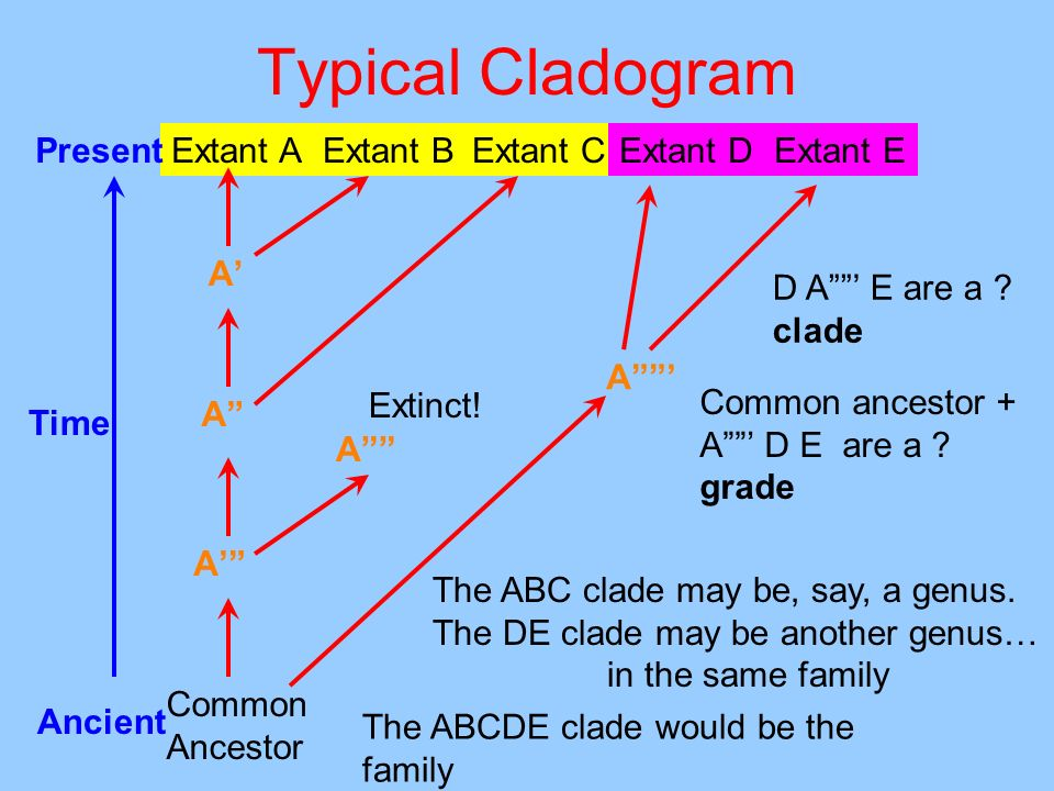 Typical Cladogram Common Ancestor Extant AExtant CExtant BPresent Ancient Time A A A A Extinct! Extant DExtant E A D A E are a ? clade Common ancestor