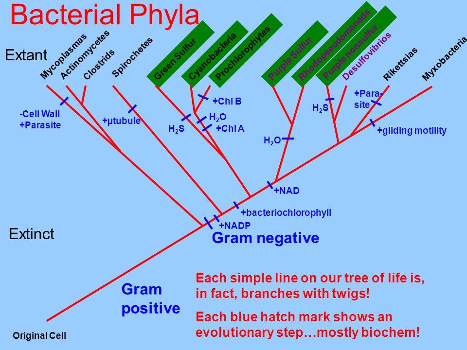 Bacterial Phyla Rikettsias DesulfovibriosClostrids Rhodopseudomonads Purple Sulfur Myxobacteria Purple nonsulfur Prochlorophytes Green Sulfur Cyanobac