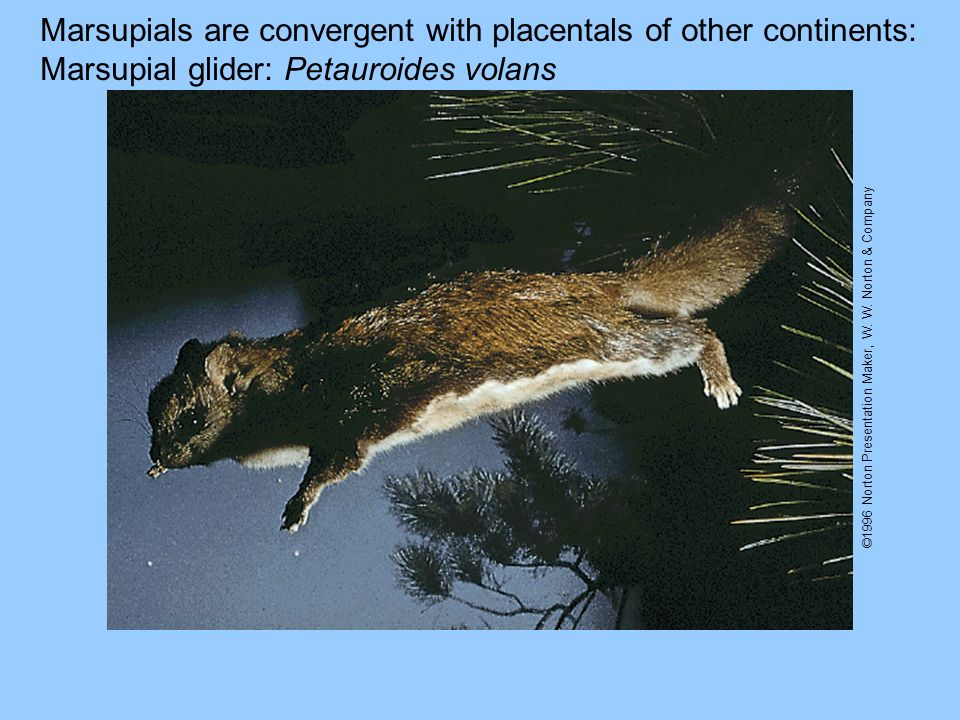 Marsupials are convergent with placentals of other continents: Marsupial glider: Petauroides volans ©1996 Norton Presentation Maker, W. W. Norton & Co