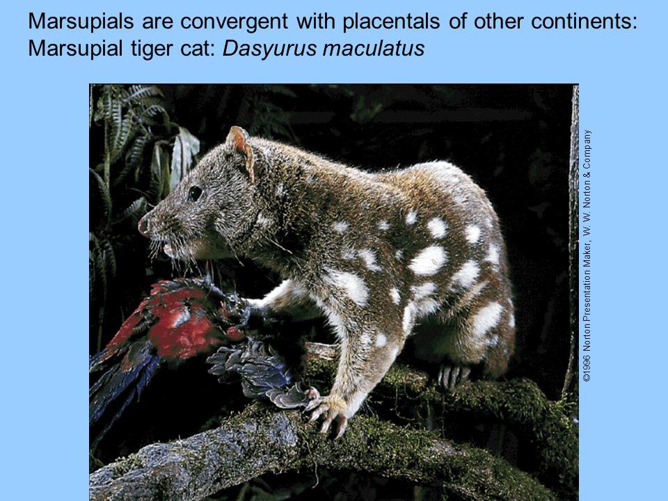 Marsupials are convergent with placentals of other continents: Marsupial tiger cat: Dasyurus maculatus ©1996 Norton Presentation Maker, W. W. Norton &