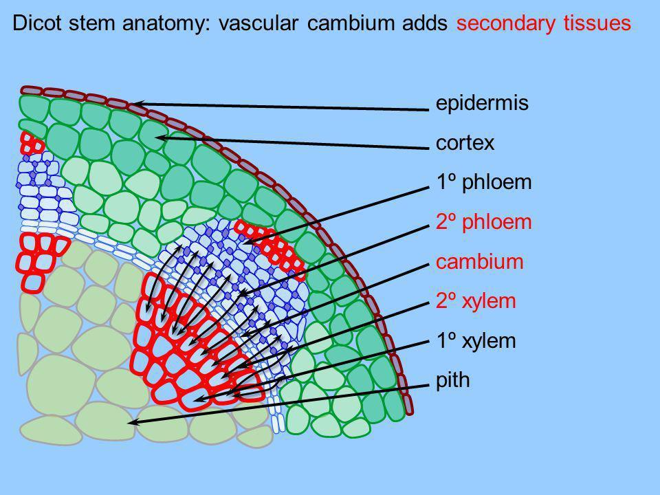 Dicot stem anatomy: vascular cambium adds secondary tissues epidermis cortex 1º phloem 2º phloem cambium 2º xylem 1º xylem pith