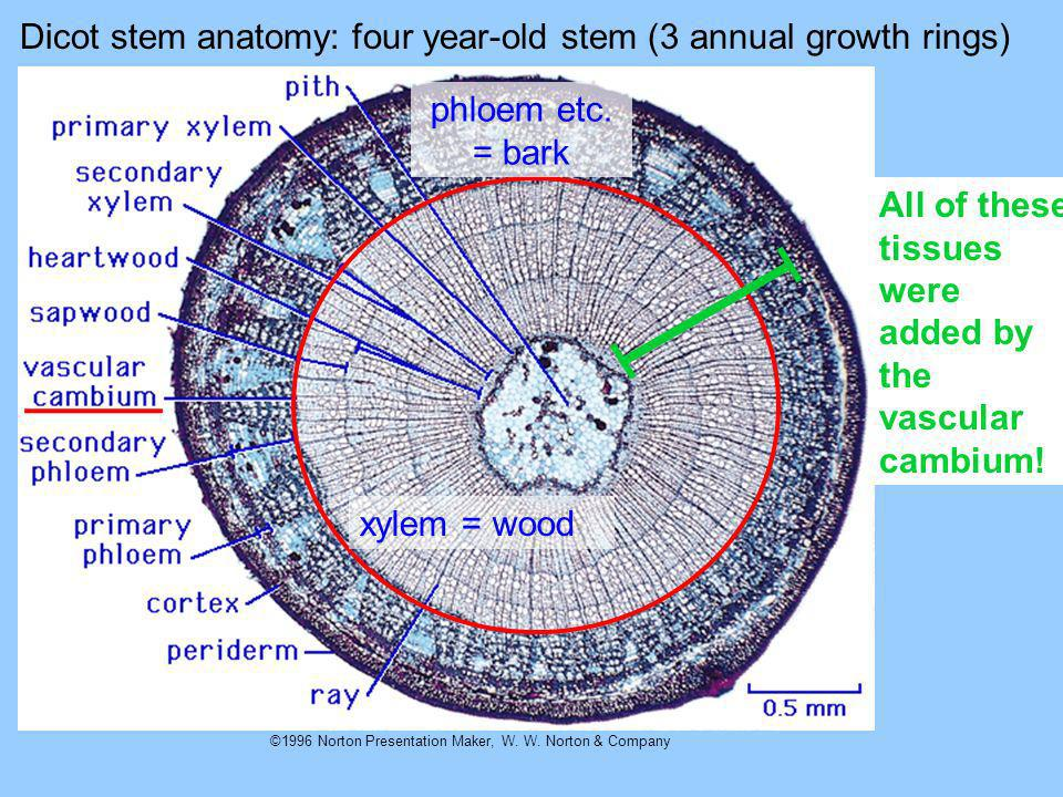 ©1996 Norton Presentation Maker, W. W. Norton & Company Dicot stem anatomy: four year-old stem (3 annual growth rings) xylem = wood phloem etc. = bark
