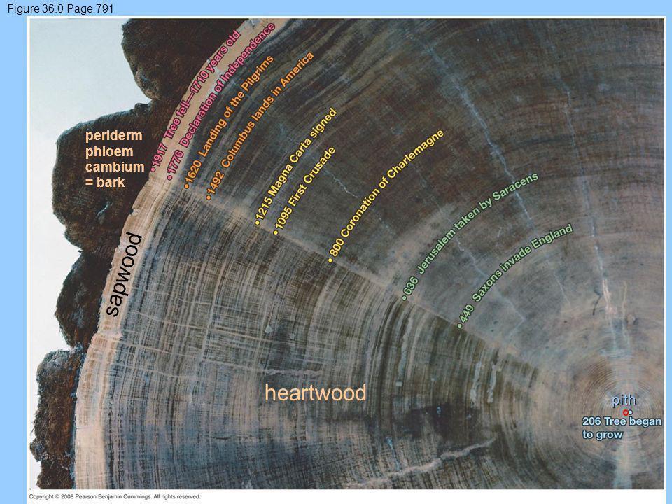 Figure 36.0 Page 791 sapwood heartwood periderm phloem cambium = bark pith