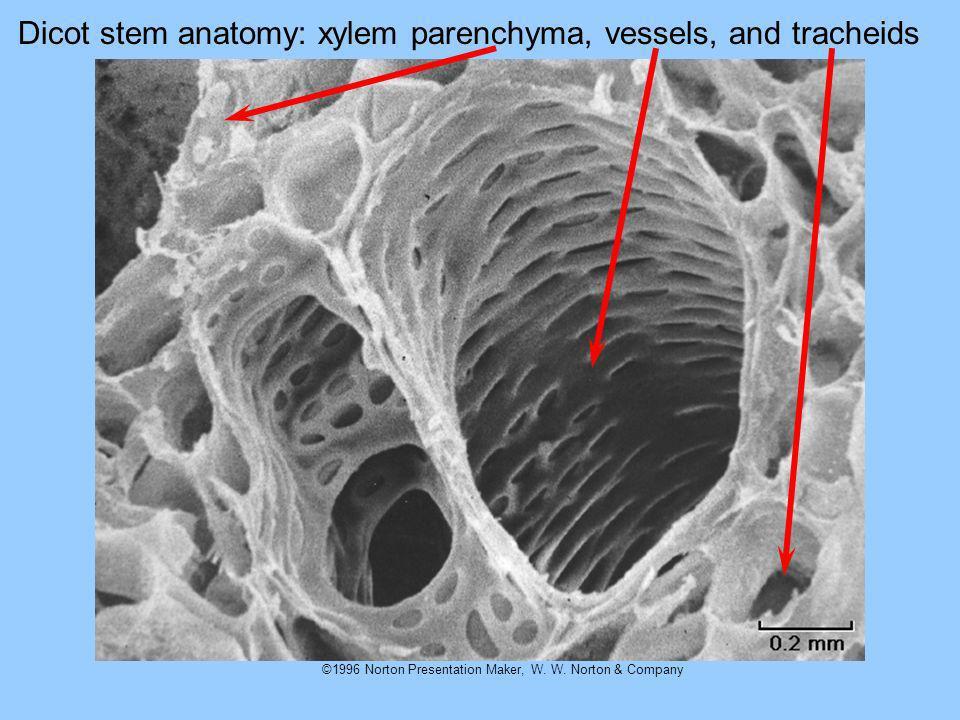 ©1996 Norton Presentation Maker, W. W. Norton & Company Dicot stem anatomy: xylem parenchyma, vessels, and tracheids