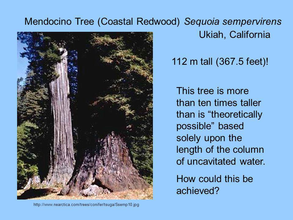 Mendocino Tree (Coastal Redwood) Sequoia sempervirens Ukiah, California 112 m tall (367.5 feet)! This tree is more than ten times taller than is theor