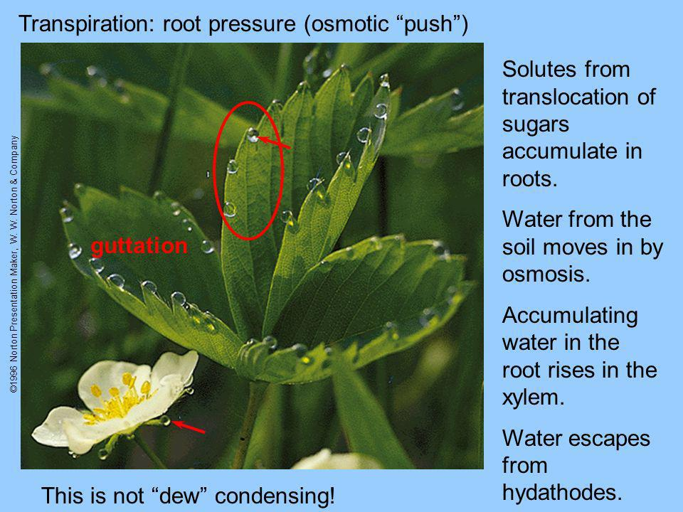 ©1996 Norton Presentation Maker, W. W. Norton & Company Transpiration: root pressure (osmotic push) guttation Solutes from translocation of sugars acc