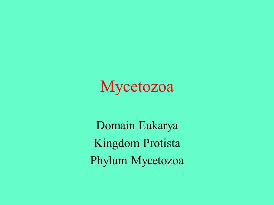 Mycetozoa Domain Eukarya Kingdom Protista Phylum Mycetozoa