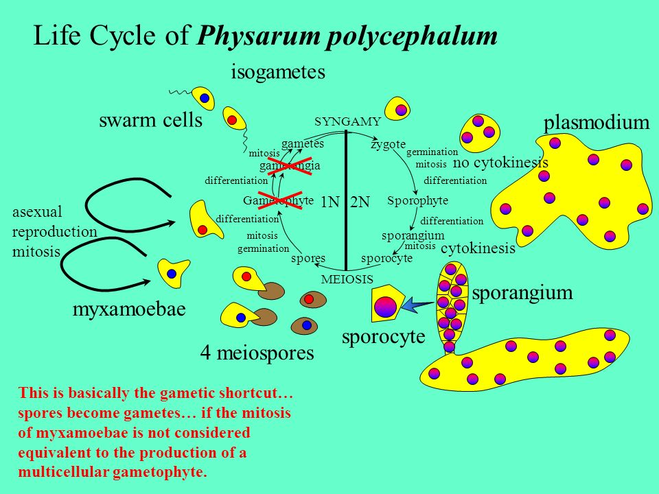 Life Cycle of Physarum polycephalum plasmodium sporangium cytokinesis SYNGAMY MEIOSIS zygote SporophyteGametophyte sporangium sporocyte spores gametan