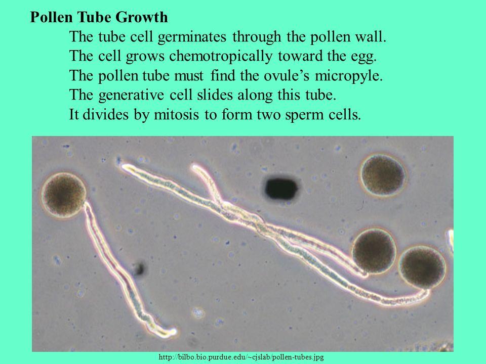 http://bilbo.bio.purdue.edu/~cjslab/pollen-tubes.jpg Pollen Tube Growth The tube cell germinates through the pollen wall. The cell grows chemotropical
