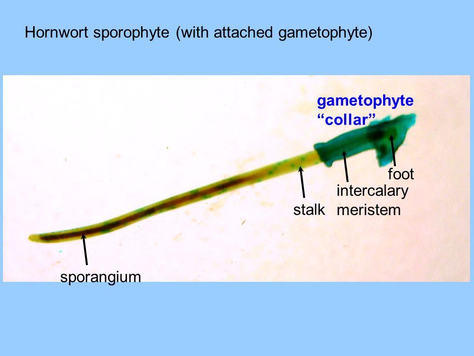 sporangium stalk foot intercalary meristem gametophyte collar Hornwort sporophyte (with attached gametophyte)