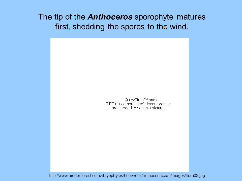 http://www.hiddenforest.co.nz/bryophytes/hornworts/anthocertaceae/images/horn03.jpg The tip of the Anthoceros sporophyte matures first, shedding the s