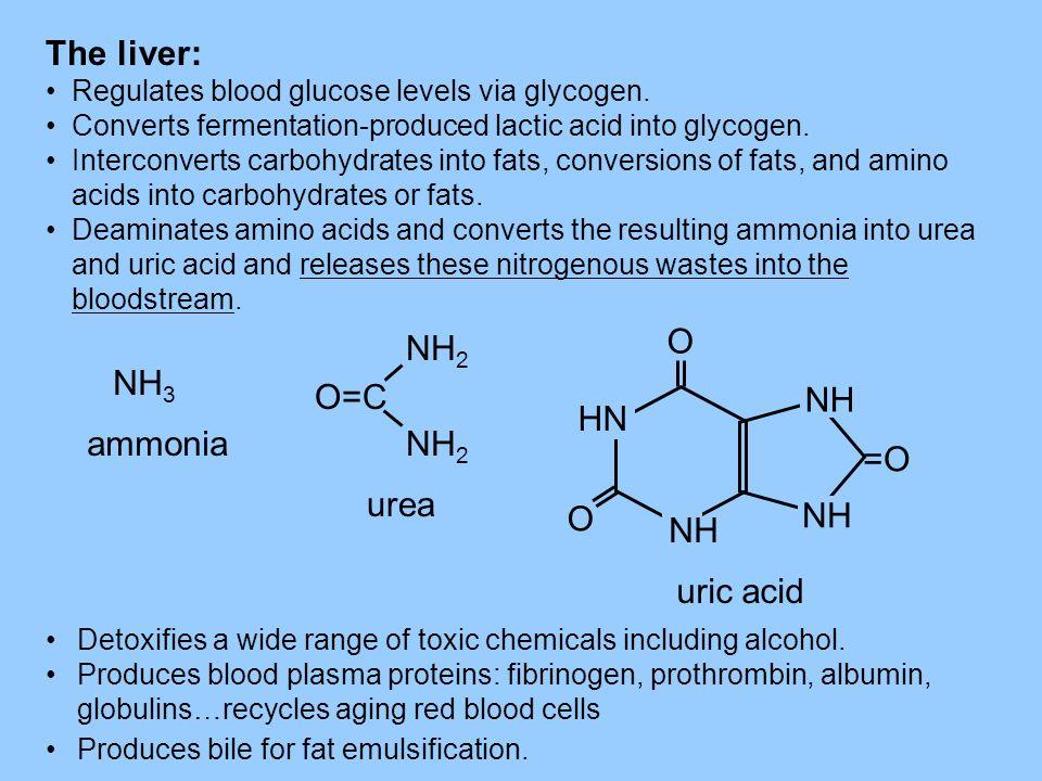 The liver: Regulates blood glucose levels via glycogen. Converts fermentation-produced lactic acid into glycogen. Interconverts carbohydrates into fat