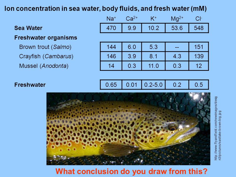 Na + Ca 2+ K+K+ Mg 2+ Cl - Sea Water 4709.910.253.6548 Freshwater organisms Brown trout (Salmo) 1446.05.3--151 Crayfish (Cambarus) 1463.98.14.3139 Mus