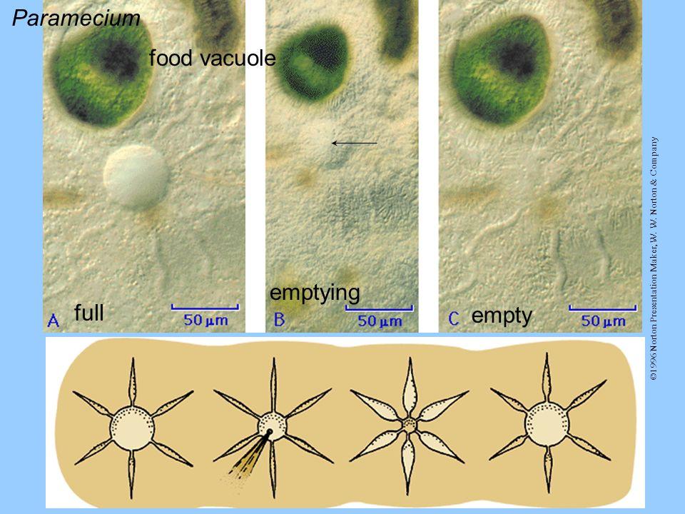 ©1996 Norton Presentation Maker, W. W. Norton & Company Paramecium food vacuole full emptying empty