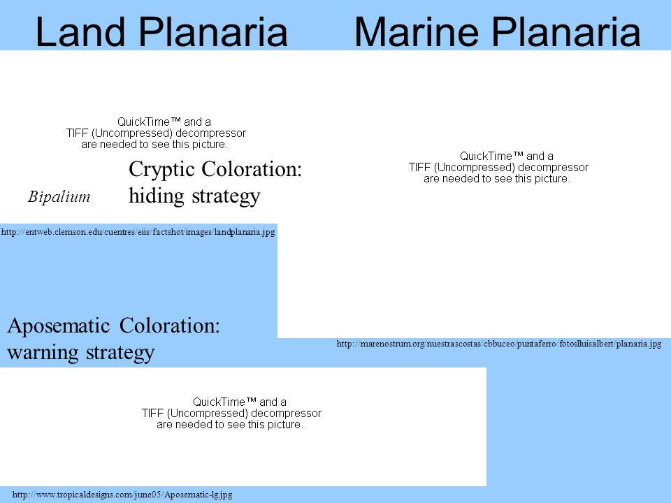 Land Planaria http://marenostrum.org/nuestrascostas/cbbuceo/puntaferro/fotoslluisalbert/planaria.jpg http://entweb.clemson.edu/cuentres/eiis/factshot/