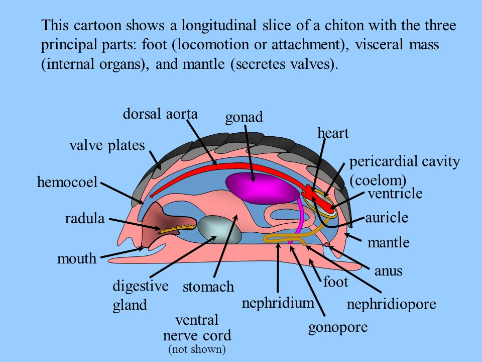 mouth radula valve plates gonad heart pericardial cavity (coelom) mantle anus foot digestive gland nephridium stomach ventral nerve cord (not shown) T