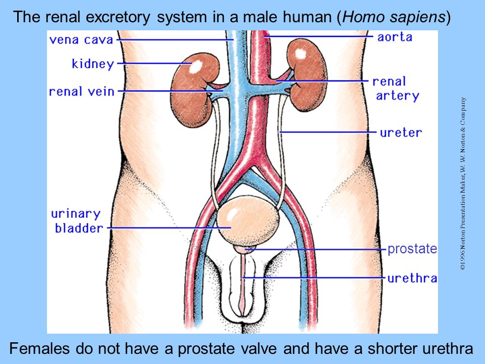 ©1996 Norton Presentation Maker, W. W. Norton & Company prostate The renal excretory system in a male human (Homo sapiens) Females do not have a prost