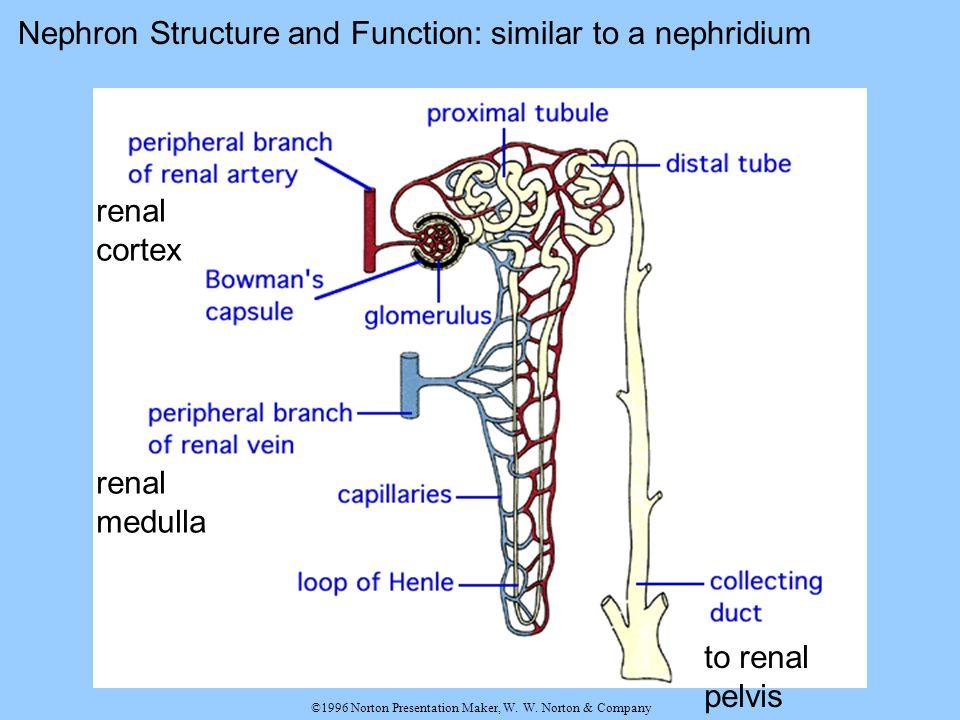 ©1996 Norton Presentation Maker, W. W. Norton & Company Nephron Structure and Function: similar to a nephridium renal cortex renal medulla to renal pe