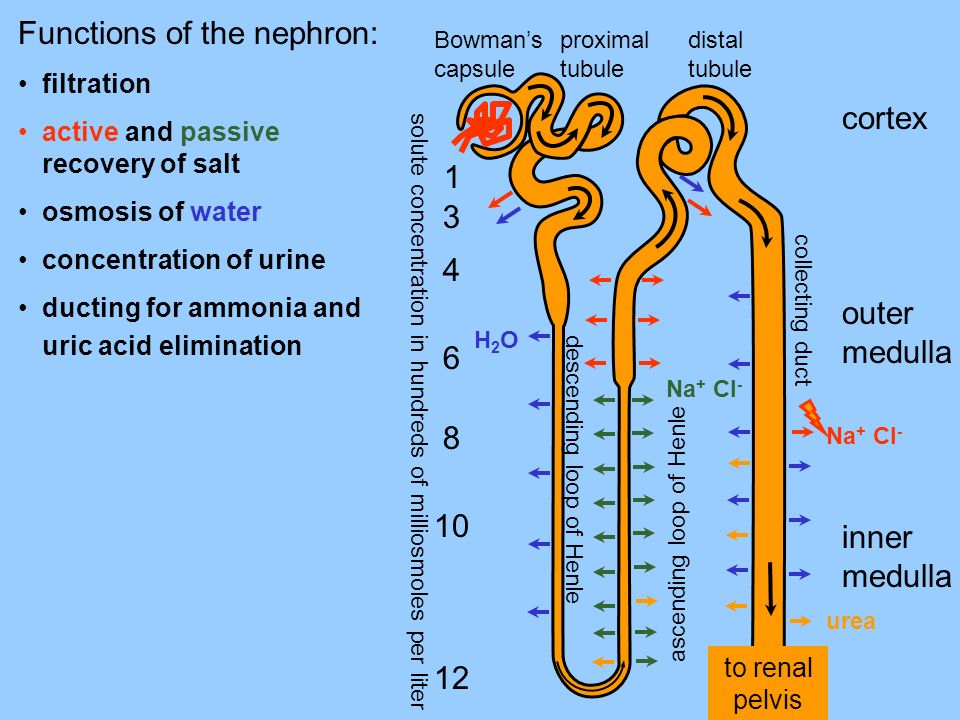 to renal pelvis Functions of the nephron: filtration active and passive recovery of salt osmosis of water concentration of urine ducting for ammonia a