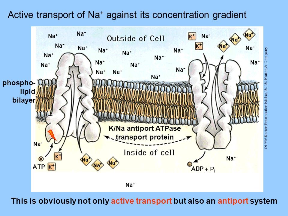 ©1996 Norton Presentation Maker, W. W. Norton & Company Active transport of Na + against its concentration gradient Na + This is obviously not only ac
