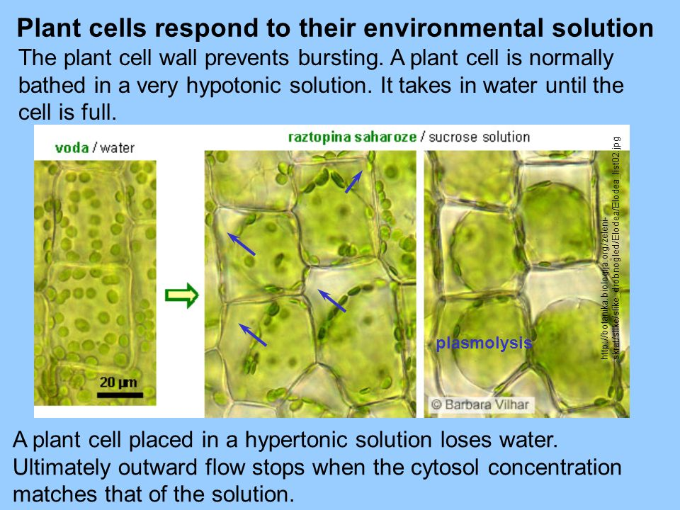 A plant cell placed in a hypertonic solution loses water. Ultimately outward flow stops when the cytosol concentration matches that of the solution. P