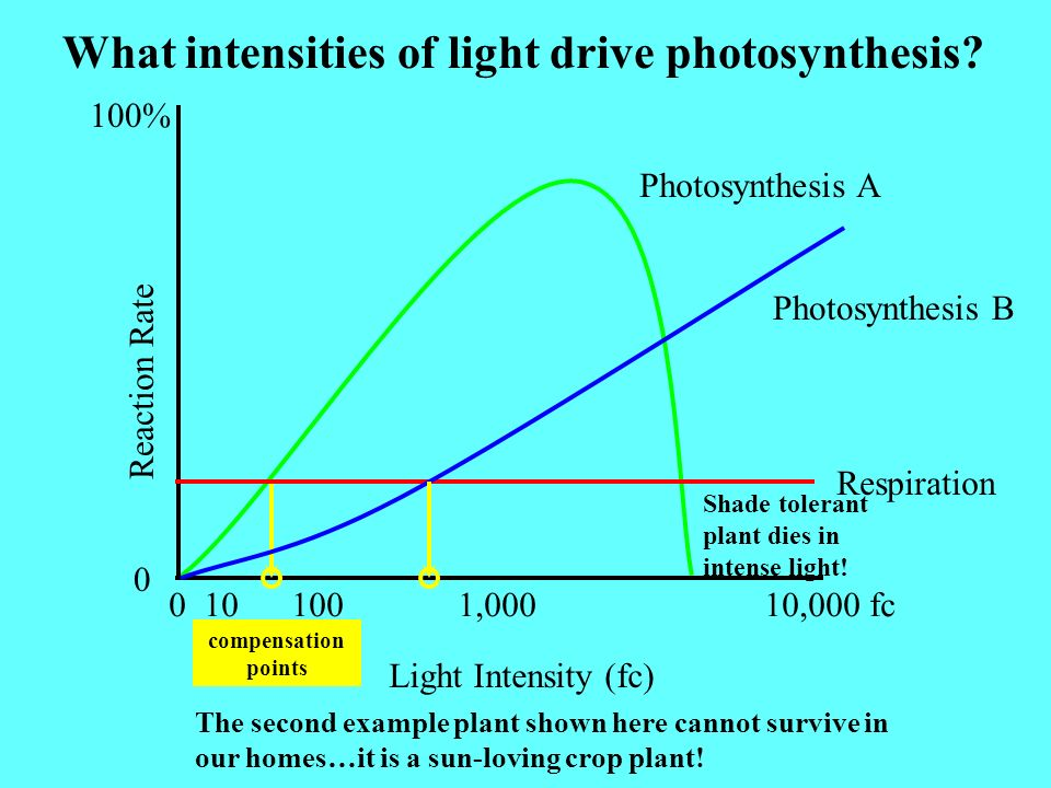 What intensities of light drive photosynthesis? Light Intensity (fc) 0 10 100 1,000 10,000 fc Reaction Rate 0 100% Photosynthesis A Respiration compen