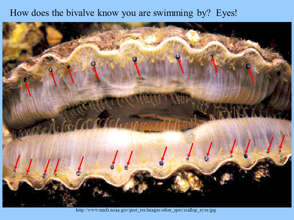 http://www.nmfs.noaa.gov/prot_res/images/other_spec/scallop_eyes.jpg How does the bivalve know you are swimming by? Eyes!