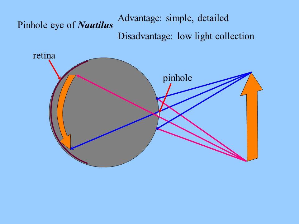 Pinhole eye of Nautilus Advantage: simple, detailed Disadvantage: low light collection retina pinhole