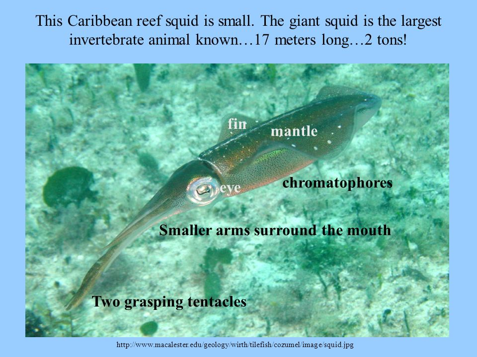 http://www.macalester.edu/geology/wirth/tilefish/cozumel/image/squid.jpg This Caribbean reef squid is small. The giant squid is the largest invertebra