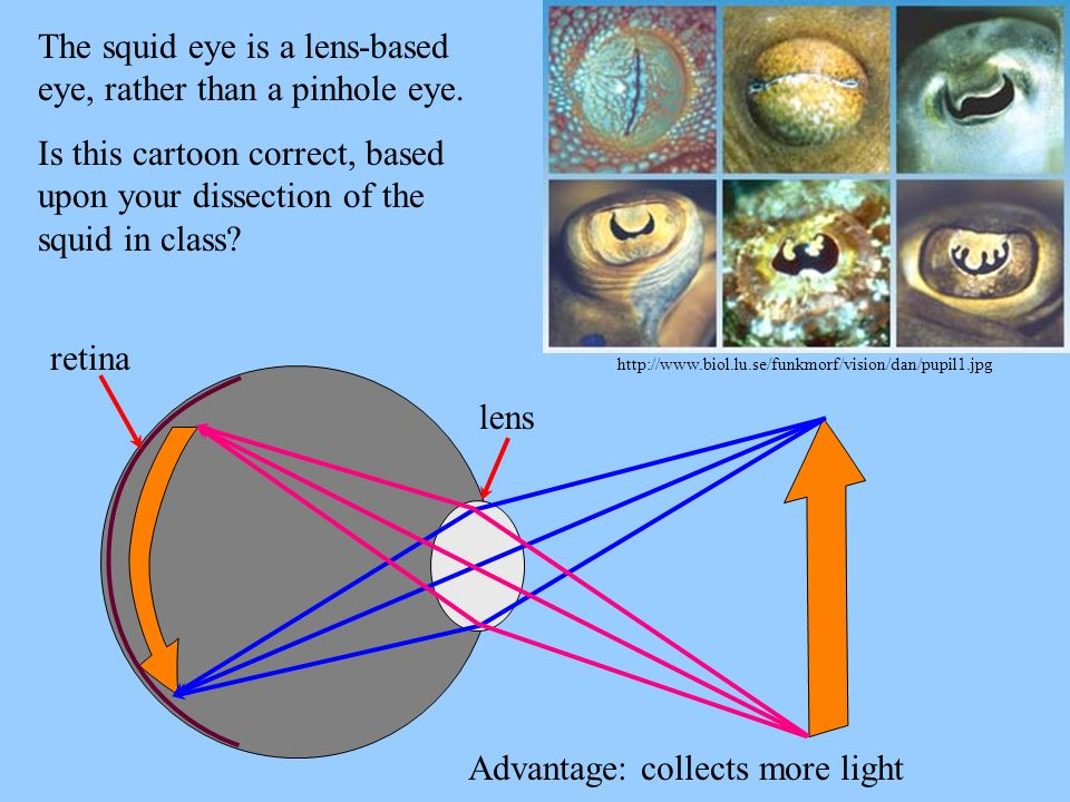 http://www.biol.lu.se/funkmorf/vision/dan/pupil1.jpg The squid eye is a lens-based eye, rather than a pinhole eye. Is this cartoon correct, based upon