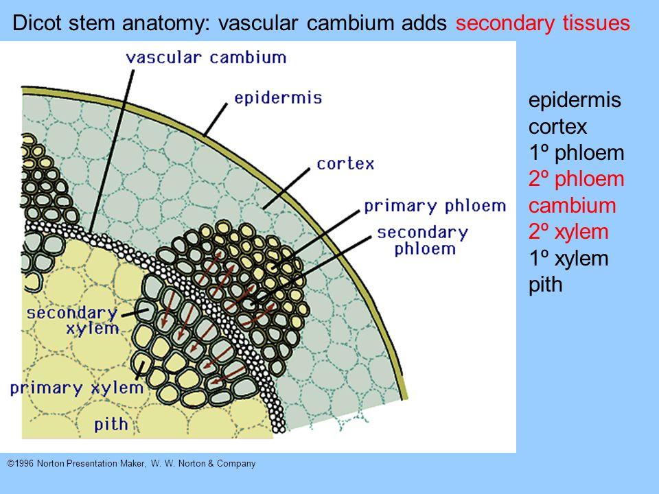 ©1996 Norton Presentation Maker, W. W. Norton & Company Dicot stem anatomy: vascular cambium adds secondary tissues epidermis cortex 1º phloem 2º phlo