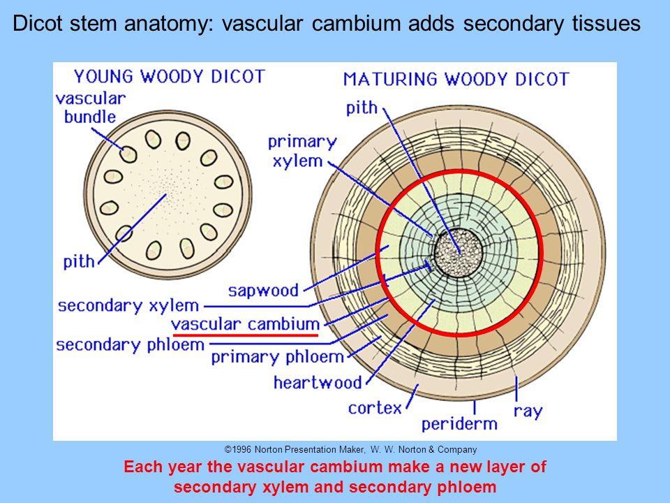 ©1996 Norton Presentation Maker, W. W. Norton & Company Dicot stem anatomy: vascular cambium adds secondary tissues Each year the vascular cambium mak