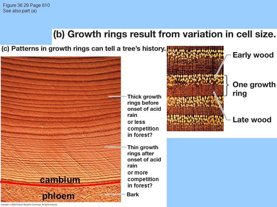 Figure 36.29 Page 810 See also part (a) or less competition in forest? or more competition in forest? cambium phloem